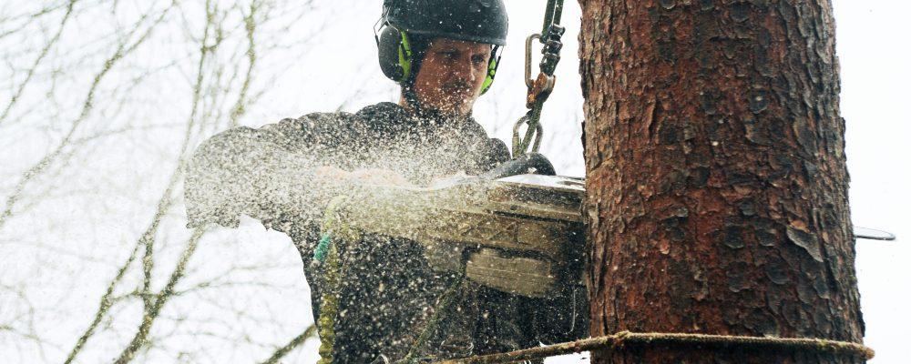 Baumpfleger - fällt - Baum - mit - Seilklettertechnik