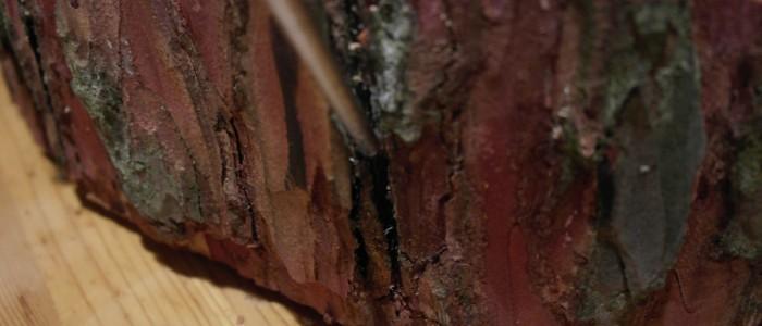 Riss - in - Borkenstruktur - kaum - erkennbar