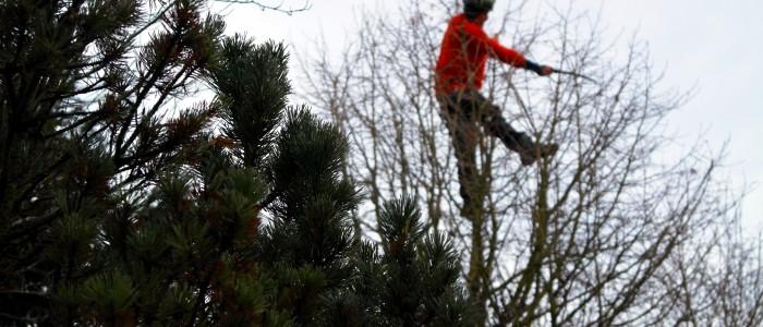 Kronenpflege - durch - Baumpfleger