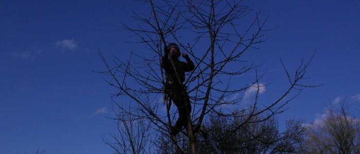 Obstbaumschnitt - durch - Kletterer