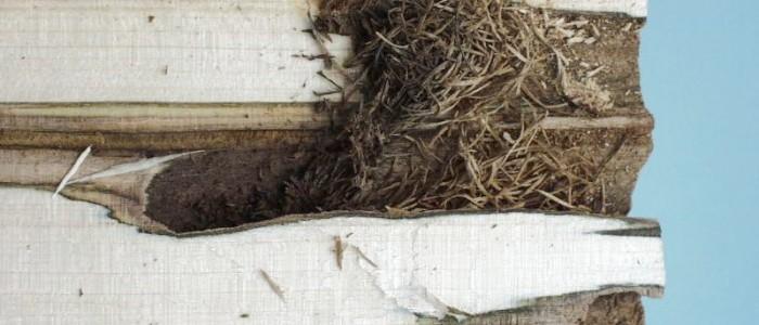 Schäden - durch - den - asiatischen - Laubholzbockkäfer - im - Querschnitt - erkennbar