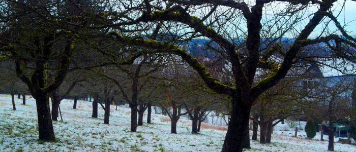 Streuobstwiese - im - Winter
