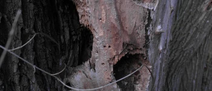 Totholzbaum - mit - Löchern