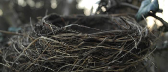 Vogelnest - in - Baumgabelung