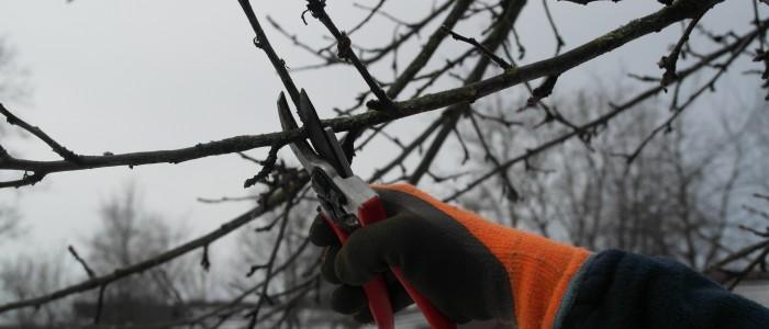 Schnitt - auf - Fruchtholz