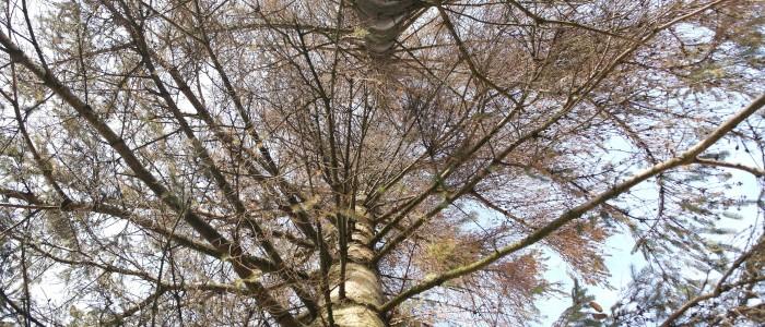 Astwerk - Käferbaum