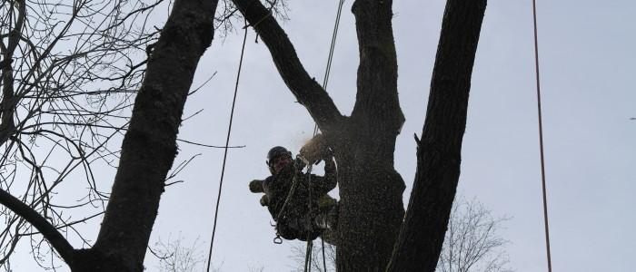 Baumfällung - Seilklettertechnik