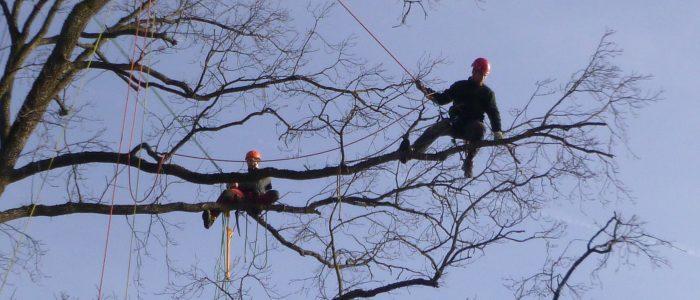 Baumpfleger - auf - Baum - in - Seilklettertechnik