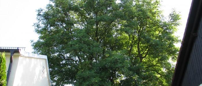 Baumschnitt - Vorher