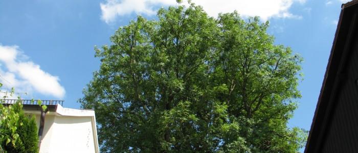 Baumschnitt - Nachher
