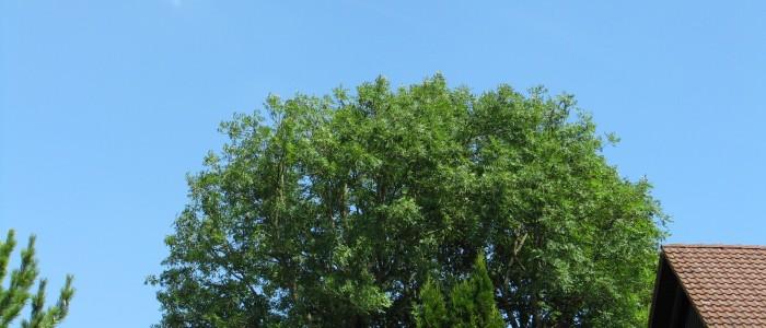 Baumschnittvergleich - Nachher