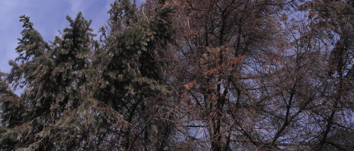 Vergleich - gesunder - kranker - Baum