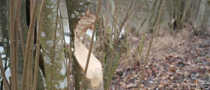 Biberschaden - an - jungem - Baum