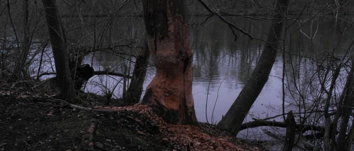 Biberfraß - am - Baum