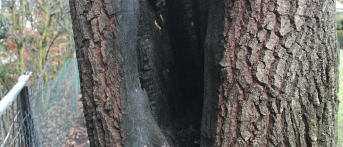 Brandeiche - Schaden
