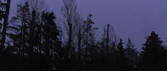 Kappung - an - einer - Baumgruppe