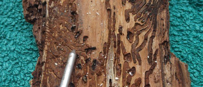 Käferbaumrinde - Exponat