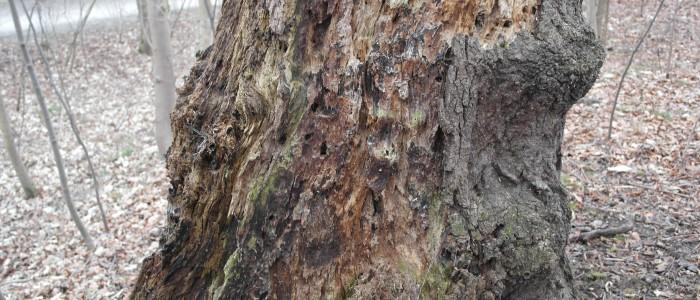 Stamm - Totholzbaum