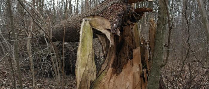 Windwurf - Baum