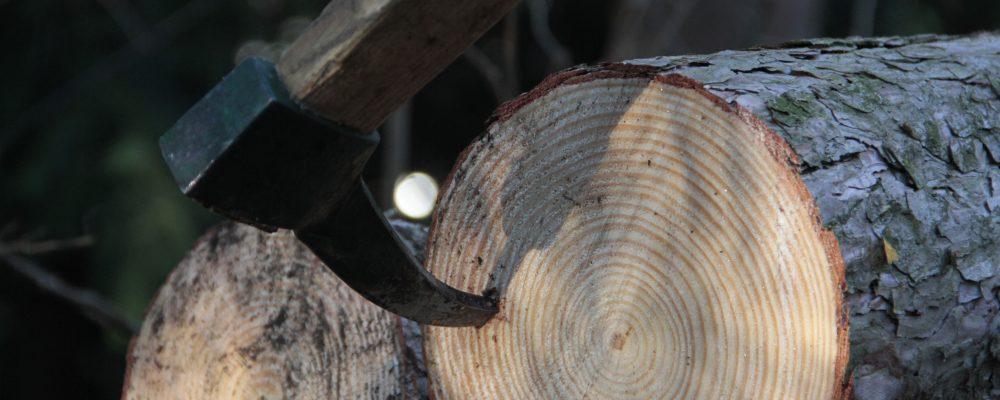 Sapie in Pinus sylvestris