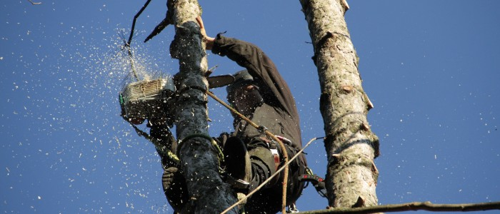 Abtrag Pinus sylvestris