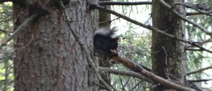 Eichhörnchen-auf-Picea abies