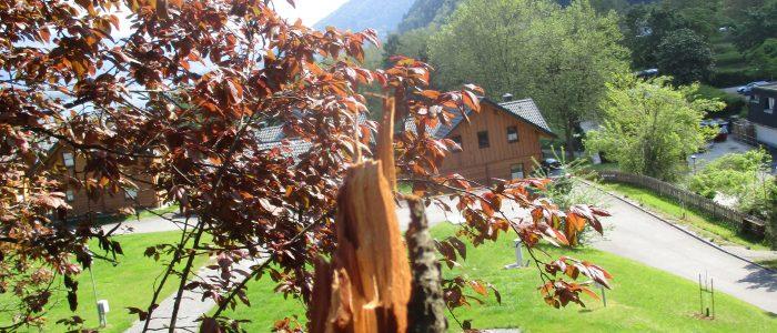 Terminalbruch- Prunus cerasifera