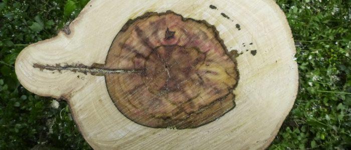 Acer pseudoplatanus mit Defekt