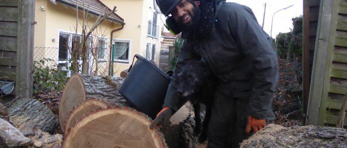 Quercus zersetzt durch phytophatogenen Großpilz
