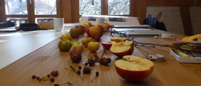 Entwicklungsgeschichte Apfel