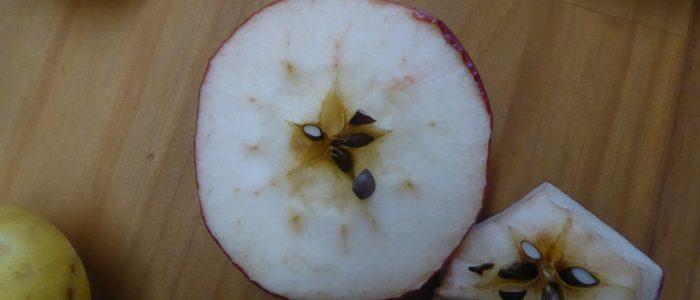 Apfel mit Fortpflanzungselementen