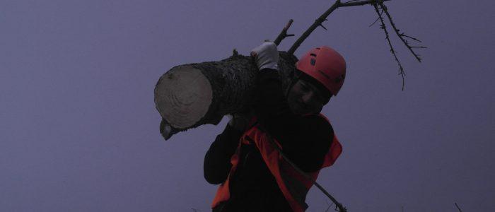 Facharbeiter trägt Fichtenstamm aus Gefahrenbereich