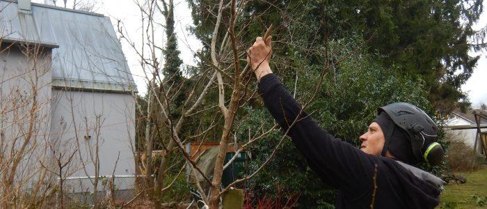 fachgerechte Jungbaumpflege an wertvollem Obstgehölz
