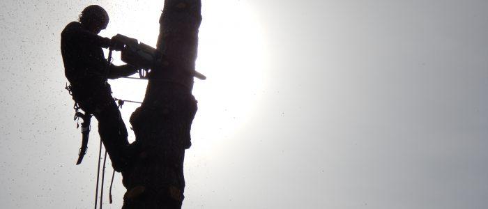 Abtrag in Stücken Pinus sylvestris