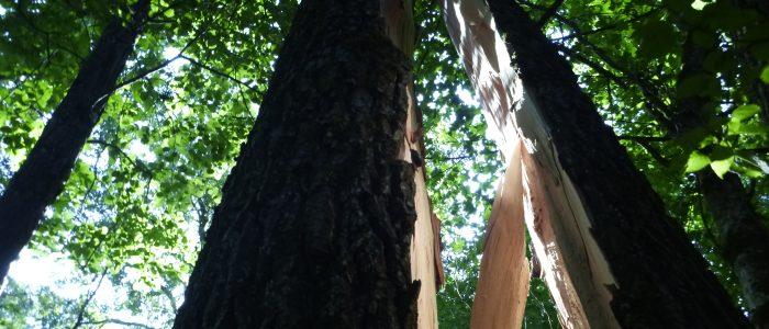 Gefahrenbaum Weide