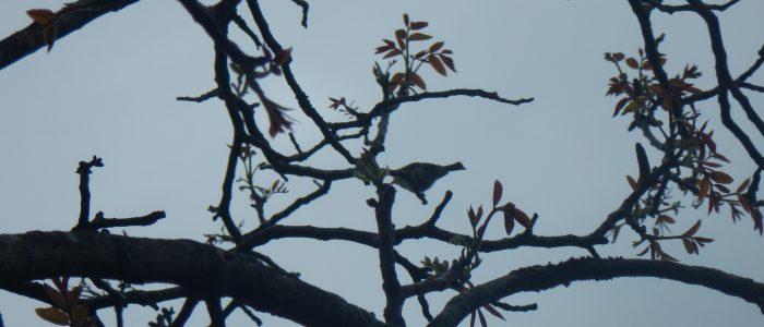 Singvogel auf Schwachast von Juglans regia
