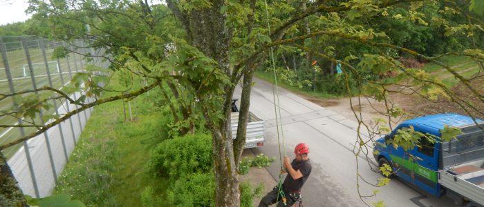 Baumkletterer in Krone von Acer pseudoplatanus