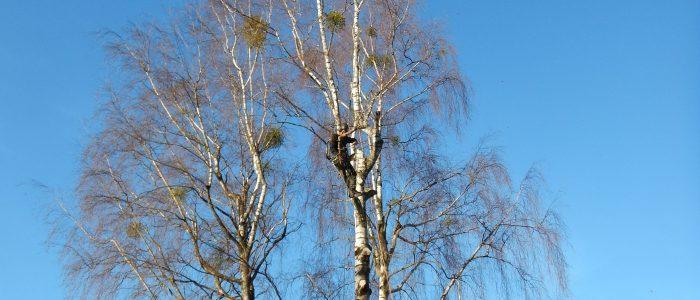 Gefahrenbaumfällung Birke