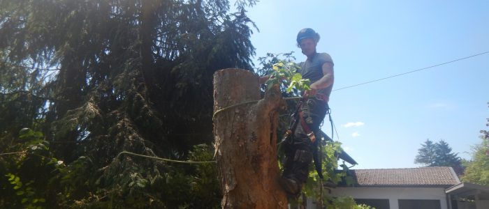 Fällung Acer pseudoplatanus
