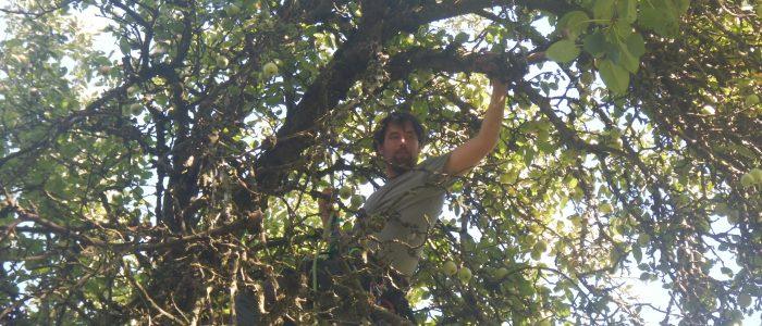 Klettereinsatz Obstbaumschnitt