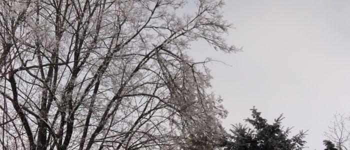 Schneebruch Spitzahorn