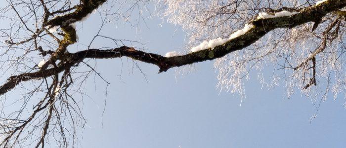 Schneebruch Hängebirke Detail