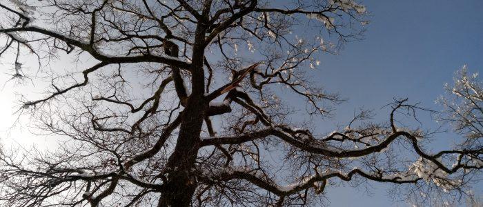 Schneebruch an Quercus