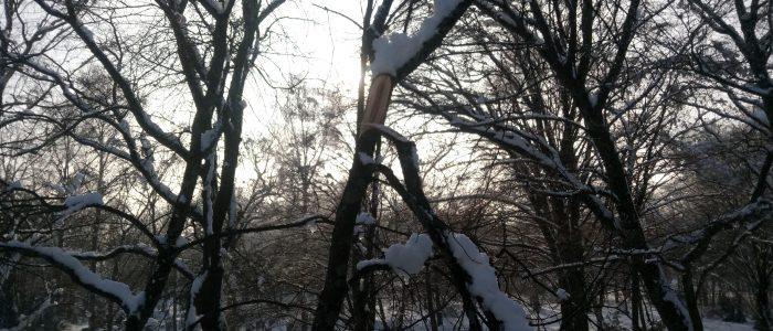 Schneebruch Traubenkirsche
