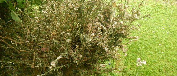 Buxus sempervirens am Absterben