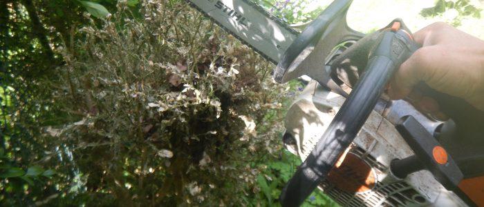 effektive Bekämpfung Buchsbaumzünsler