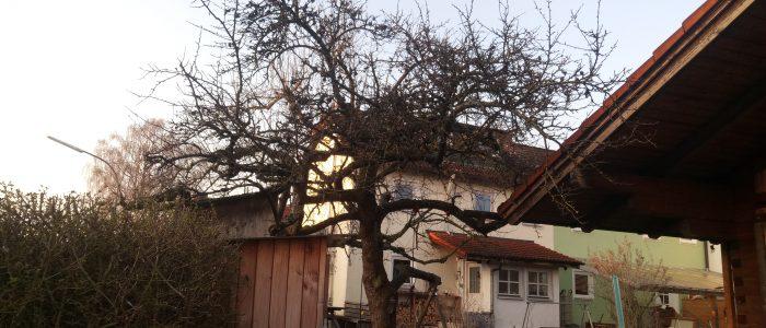 Hauszwetschge vor dem Baumschnitt