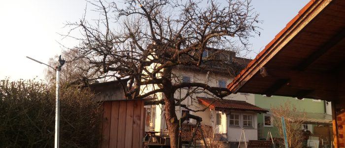 Hauszwetschge nach dem Baumschnitt