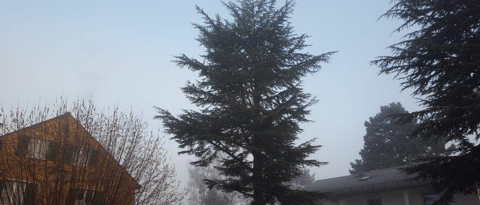 Habitus Großbaum