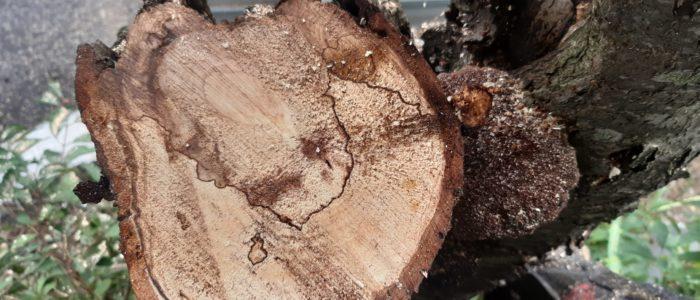 weitreichende Holzzersetzung